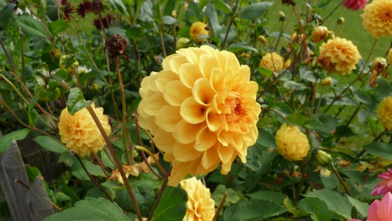 Dahlia in the Netherlands